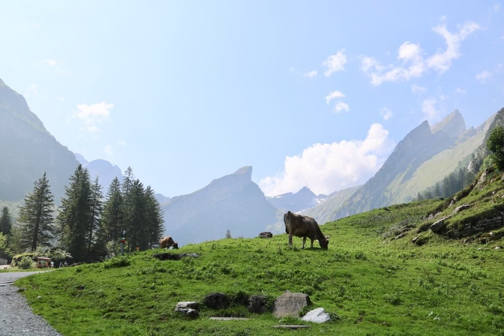 Kühe Seealpsee Schweiz