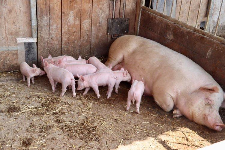 Gstach Rankweil Schweinezucht Mastschweine